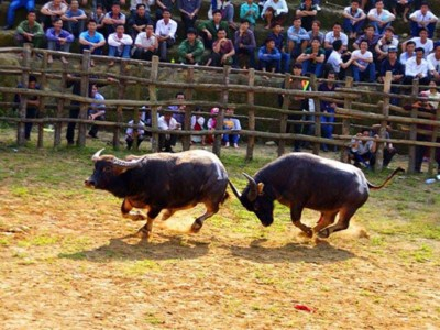 The buffalo fighting in Festival Lunar New Year at Bao Thang